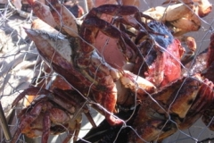 crab_catch_2