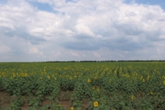 mil_plovdiv_sunflowers_2