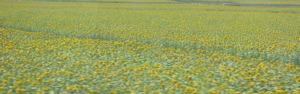 plovdiv-sunflowers.jpg