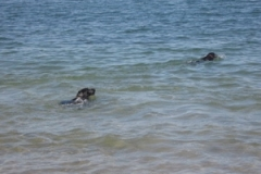 dogs_swimming1