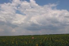 mil_plovdiv_sunflowers