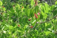 veliko_berries
