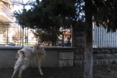 zavet_goat