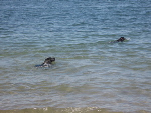 dogs-swimming1.jpg